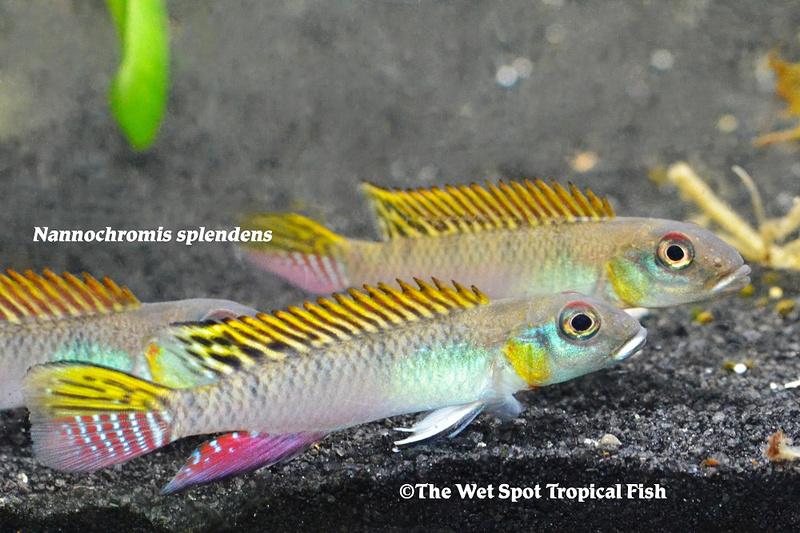 WSNannochromis splendens