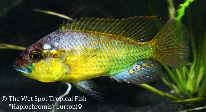 Haplochromisburtonifemale