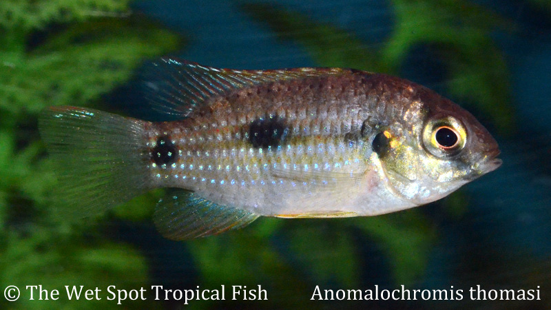 Wet spot tropical fish other anomalochromis thomasi for The wet spot tropical fish