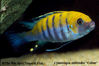 "Cynotilapia zebroides ""Cobue"" ""Orange Back"""