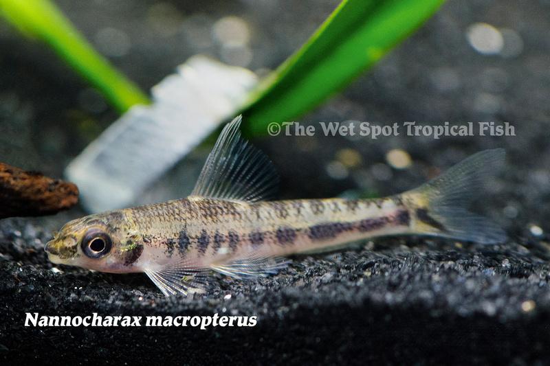 WSNannocharaxmacropterus