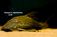 WS L330 Panaque cf. nigrolineatus - Spotted Royal Pleco