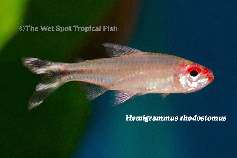 WSHemigrammus rhodostomus