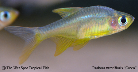 "Rasbora vaterifloris ""Green Fire"""