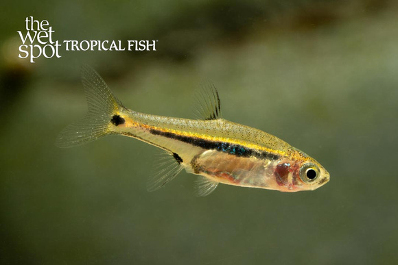 Exclamation Point Rasbora
