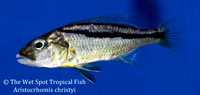 Aristochromis christyi