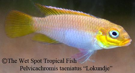 Wet spot tropical fish pelvicachromis for The wet spot tropical fish