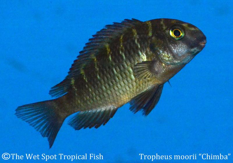 Wet spot tropical fish tropheus for The wet spot tropical fish