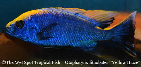 Wet spot tropical fish otopharynx otopharynx for Wet spot fish