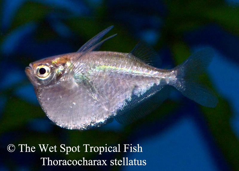 Wet spot tropical fish characins for The wet spot tropical fish