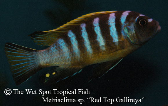 "Metriaclima sp. ""Red Top Gallireya"""
