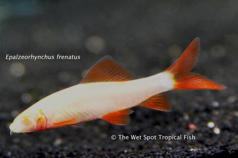 WS Epalzeorhynchusz frenatus
