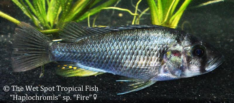 HaplochromisspFirefemale