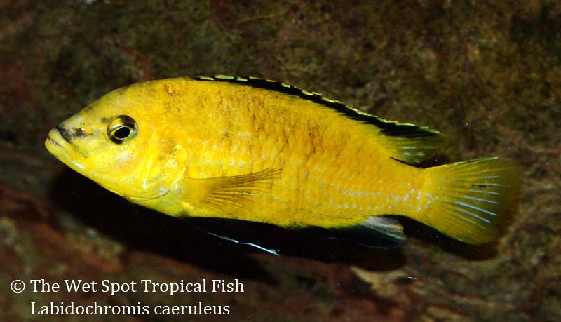 Wet spot tropical fish labidochromis labidochromis for Is a fish wet