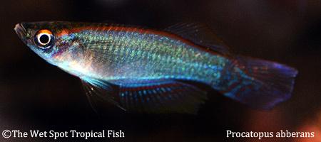 Wet spot tropical fish killifish for The wet spot tropical fish