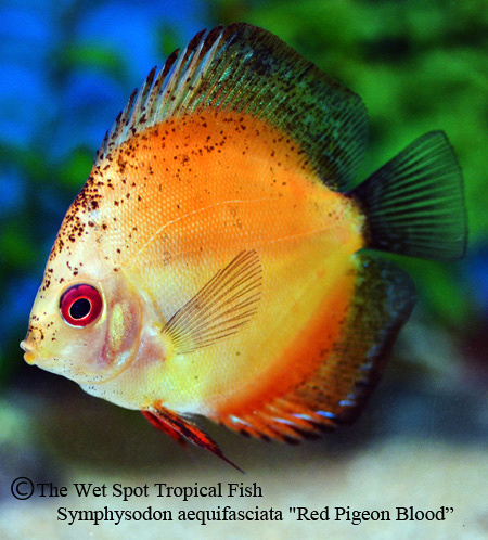 Wet spot tropical fish discus for Is a fish wet