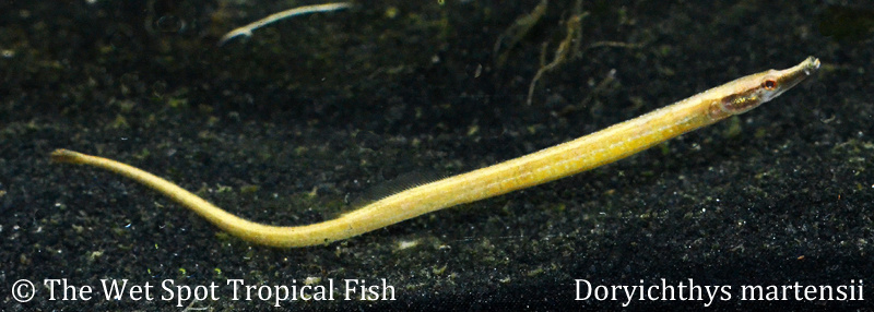 ... Pipefish and Toothpickfish Malaysian Freshwater Pipefish
