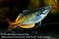 "Boeseman's Rainbowfish (Red Form) - Melanotaenia boesemani ""Red Form"" ""Lake Aytinjo"""