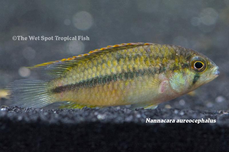 WSNannacara aureocephalus