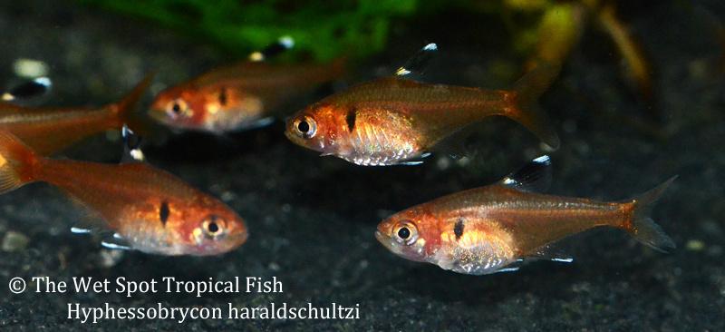 Hyphessobrycon haraldschultzi