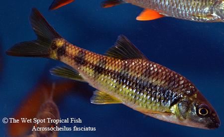 Acrossocheilus fasciatus