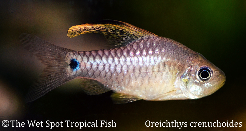 wet spot tropical fish barbs