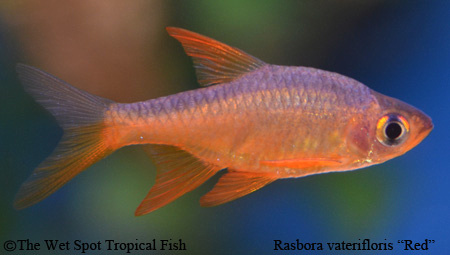 "Rasbora vaterifloris ""Red Fire"""