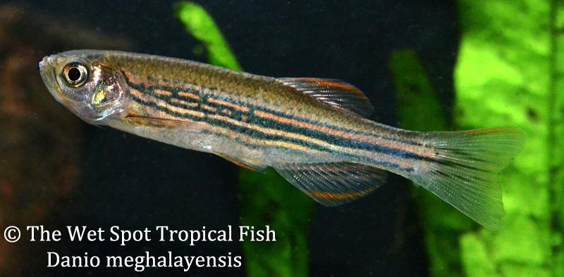 Wet spot tropical fish danios for The wet spot tropical fish