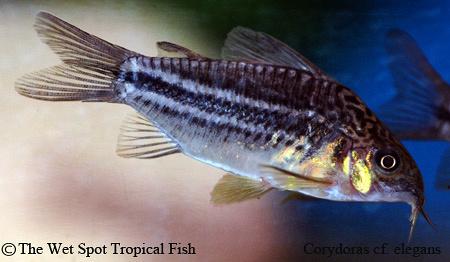 wet spot tropical fish corydoras corydoras cf elegans