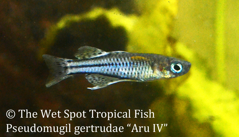"""Pseudomugil gertrudae """"Aru IV"""""""