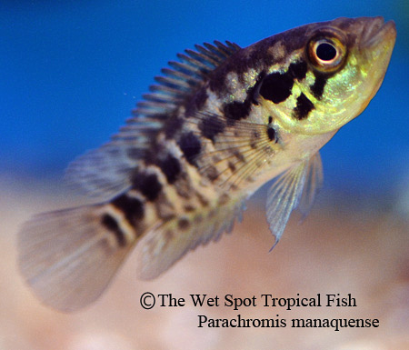 Wet spot tropical fish central american cichlids for The wet spot tropical fish