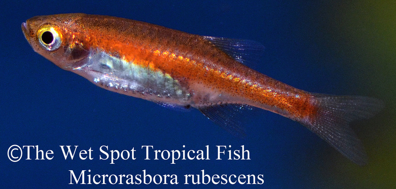 Wet spot tropical fish rasboras for The wet spot tropical fish